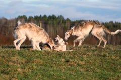 Rysk psovy rysk vinthund Arkivbilder