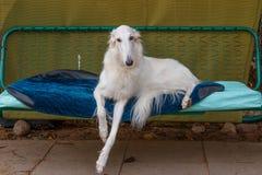 Rysk rysk vinthund - jakthund - vit till lögner på en trädgårds- gunga Royaltyfria Foton