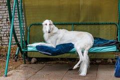 Rysk rysk vinthund på den trädgårds- gungan Arkivbilder