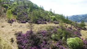 Rysk sakura - Bagulnik rhododendron, ledumen Daursky - mot bakgrunden av barrträd stock video