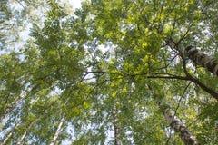 Rysk skog Fotografering för Bildbyråer