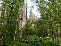 Rysk skog Royaltyfri Fotografi