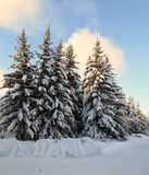 Rysk vinter - härliga granträd i snö fotografering för bildbyråer