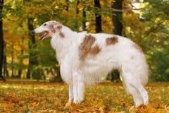 Rysk vinthund royaltyfri bild