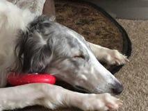 Rysk vinthund som sover med hans leksak Royaltyfri Foto