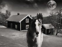 Rysk vinthund varg-hund som jagar ut Fotografering för Bildbyråer