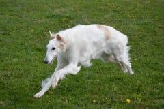 Rysk vinthundspring i parkera Royaltyfria Bilder