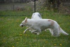 Rysk vinthundspring i parkera Arkivbilder