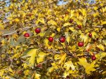 Ryska hagtorn- och gulingsidor Royaltyfria Bilder