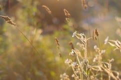 Ryska vildblommor på solnedgången, ställe för text royaltyfri bild