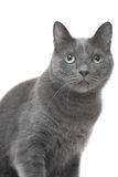 Ryskt sammanträde för blå katt på isolerad vit bakgrund Royaltyfria Foton