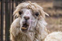 Rysligt ful alpaca med att svälla ut ögon och krokiga gula tänder fotografering för bildbyråer