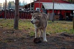 Ryssland En hund av den alaskabo malamuten för avel i den Talvi Ukko för hundcattery` `en, November 14, 2017 Royaltyfria Foton