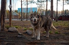 Ryssland En hund av den alaskabo malamuten för avel i den Talvi Ukko för hundcattery` `en, November 14, 2017 Arkivbilder
