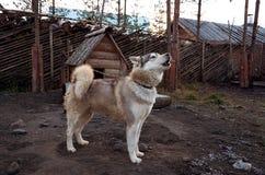 Ryssland En hund av den alaskabo malamuten för avel i den Talvi Ukko för hundcattery` `en, November 14, 2017 Fotografering för Bildbyråer