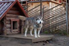 Ryssland En hund av den alaskabo malamuten för avel i den Talvi Ukko för hundcattery` `en, November 14, 2017 Royaltyfri Fotografi