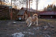 Ryssland En hund av den alaskabo malamuten för avel i den Talvi Ukko för hundcattery` `en, November 14, 2017 Arkivfoto