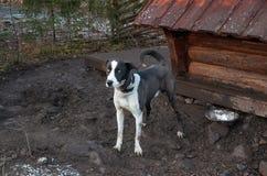 Ryssland En hund av den skrovliga aveln i en hundhundkoja November 14, 2017 Arkivfoto