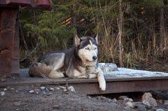 Ryssland En hund av den skrovliga aveln i en hundhundkoja November 14, 2017 Royaltyfri Foto