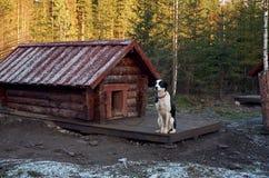 Ryssland En hund av den skrovliga aveln i den Talvi Ukko för hundcattery` `en, November 14, 2017 Arkivfoton