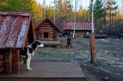 Ryssland En hund av den skrovliga aveln i den Talvi Ukko för hundcattery` `en, November 14, 2017 Royaltyfria Foton