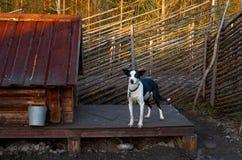 Ryssland En hund av den skrovliga aveln i den Talvi Ukko för hundcattery` `en, November 14, 2017 Fotografering för Bildbyråer