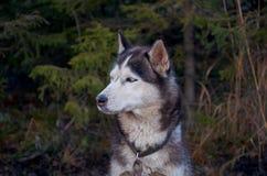 Ryssland En hund av den skrovliga aveln i den Talvi Ukko för hundcattery` `en, November 14, 2017 Arkivfoto