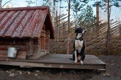 Ryssland En hund av den skrovliga aveln i den Talvi Ukko för hundcattery` `en, November 14, 2017 Arkivbild