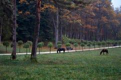 Ryssland Kislovodsk Svarta hästar går i Kislovodsken parkerar Royaltyfri Bild