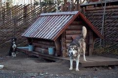Ryssland - November 14, 2017: En hund av aveln för alaskabo Malamute i en hundhundkoja Royaltyfria Foton