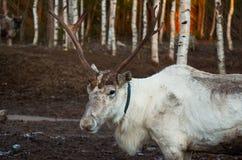 Ryssland Ren på den lantgård`-Talvi Ukko `en November 14, 2017 Arkivfoto