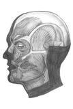 rysunek anatomiczny Zdjęcia Royalty Free