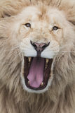 Ryta Lion Arkivfoton