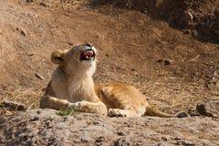 Ryta lion Arkivfoto