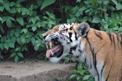 ryta tiger Arkivbilder
