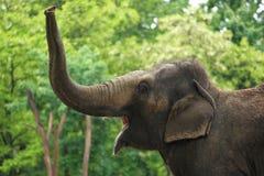Rytande asiatisk elefant Royaltyfria Bilder
