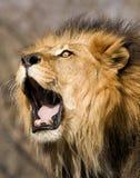 Rytande lejon Royaltyfria Bilder
