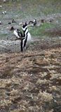 Rytande pingvin Arkivfoto