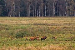 Rytande röd hjort med gör på röjning i skogen i östlig Tyskland Royaltyfri Foto