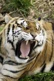 Rytande tiger Royaltyfria Bilder