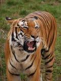 Rytande tiger Royaltyfri Bild