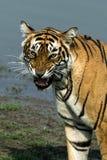 Rytande tiger Arkivbild