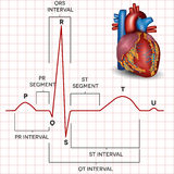 Rythme de sinus de coeur humain et anatomie normaux de coeur Photographie stock libre de droits