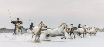 Ryttare på de vita hästarna av Camargue som galopperar till och med vatten Royaltyfri Fotografi