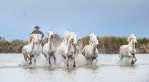 Ryttare på de vita hästarna av Camargue som galopperar till och med vatten royaltyfria foton