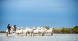 Ryttare på den vita hästen kör hästarna till och med vattnet arkivbild