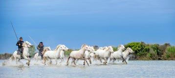 Ryttare på den vita hästen kör hästarna till och med vattnet royaltyfria bilder
