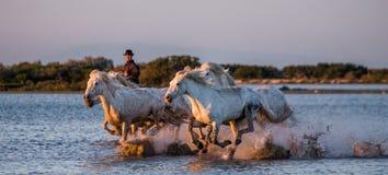 Ryttaren på den Camargue hästen galopperar till och med träsket Royaltyfria Bilder