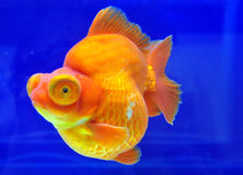 Ryukin gelber Goldfish lizenzfreie stockfotos