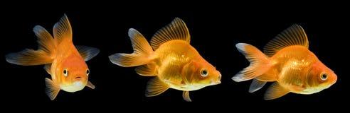Ryukin Goldfish-Serie Lizenzfreie Stockfotografie